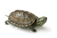 Chinese turtle Royalty Free Stock Photography
