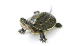 Chinese turtle Royalty Free Stock Images