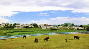 Chinese village,cattle. Modern a village in guizhou china,the cattle graze freely on the grass Royalty Free Stock Photos