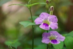 Chinese violette of purpere kruipende digitalistrechter gevormde bloemen Royalty-vrije Stock Afbeeldingen