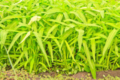 Chinese Water Convolvulus. Agriculture plain of water Convolvulus (Ipomoea aquatica royalty free stock photo