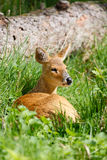 Chinese water deer Royalty Free Stock Photography
