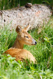 Chinese water deer Stock Image