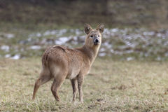 Chinese water deer, Hydropotes inermis Royalty Free Stock Photography
