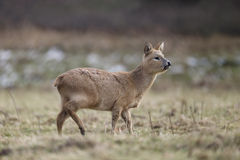Chinese water deer, Hydropotes inermis Stock Images