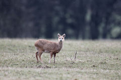 Chinese water deer, Hydropotes inermis Stock Photos