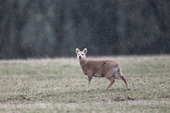 Chinese water deer, Hydropotes inermis Royalty Free Stock Photos