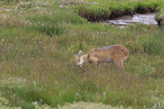 Chinese water deer (Hydropotes inermis) Stock Photo