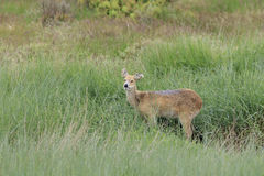 Chinese water deer (Hydropotes inermis) Royalty Free Stock Photography
