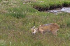 Chinese water deer (Hydropotes inermis) Royalty Free Stock Image