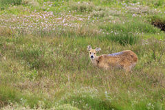Chinese water deer (Hydropotes inermis) Royalty Free Stock Images