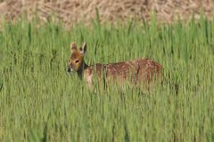 Chinese Water Deer wading through a reed bed. Royalty Free Stock Images
