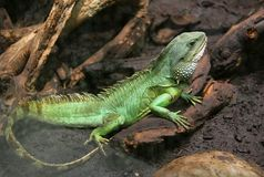 Chinese Water Dragon 1 Royalty Free Stock Photography