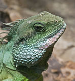 Chinese water dragon 2 Stock Image