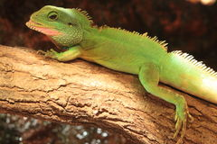 Chinese water dragon Royalty Free Stock Image