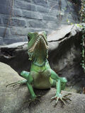 Chinese Water Dragon Stock Photography