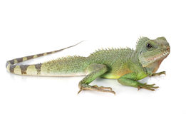 Free Chinese Water Dragon Royalty Free Stock Photography - 42007487