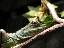 Chinese Water Dragon Stock Photos