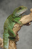 Chinese water dragon on branch Royalty Free Stock Photos