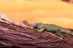 Chinese water dragon on branch tree Royalty Free Stock Photography