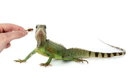 Chinese water dragon eating Stock Photography
