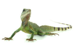 Chinese water dragon Stock Image