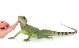 Chinese water dragon Royalty Free Stock Photo