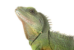 Chinese water dragon Royalty Free Stock Photos