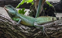 Chinese water dragon 9. Chinese water dragon. Latin name - Physignathus cocincinus Royalty Free Stock Photo