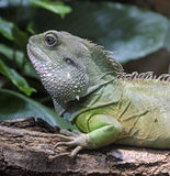 Chinese water dragon 6 Stock Photos