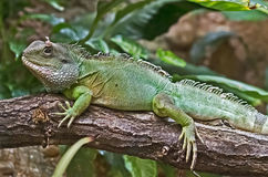 Chinese water dragon 5 Royalty Free Stock Image