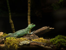 Chinese Water Dragon. Lifes mostly in tropical rainforests, near running water and on trees Stock Images