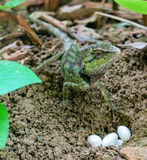 Chinese Water Dragon lizard guarding eggs. Physignathus cocincinus or chinese water dragon guarding her eggs just after laying them Stock Photo