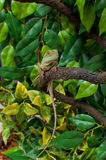 Chinese Water Dragon Lizard Reptile Physignathus cocincinus Royalty Free Stock Photos