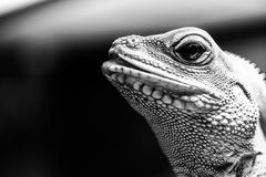 Chinese Water Dragon. Majestic looking Chinese Water Dragon Royalty Free Stock Image