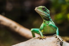 Chinese water dragon (Physignathus cocincinus) Stock Photos
