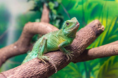 Chinese Water Dragon (Physignathus cocincinus) on a branch Stock Photo