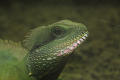 Chinese Water Dragon  (Physignathus cocincinus) Royalty Free Stock Images