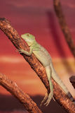 Chinese Water Dragon Royalty Free Stock Images