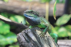 Chinese water dragon Royalty Free Stock Photography