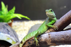 Chinese Water Dragons Stock Photo