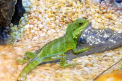 Chinese Water Dragons Royalty Free Stock Photos