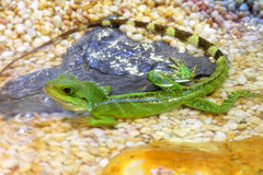 Chinese Water Dragons Stock Photos