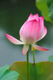Chinese water lily. This is a close-up of Chinese water lily Stock Images