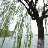 Chinese willow tree Stock Images