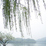 Chinese willow tree Stock Photos