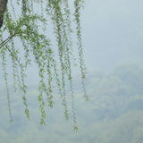 Chinese willow tree Royalty Free Stock Photography