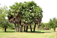 Chinese windmill palms Stock Photos