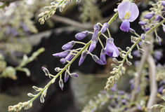 Chinese wisteria blooms. Dramatic flowers with an intoxicating fragrance cover this vigorous twining climber. Its cascading flower clusters grow to about 1 foot Stock Images