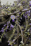 Chinese wisteria blooms. Dramatic flowers with an intoxicating fragrance cover this vigorous twining climber. Its cascading flower clusters grow to about 1 foot Stock Photo